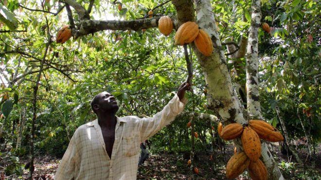 producteur-cacao-afr